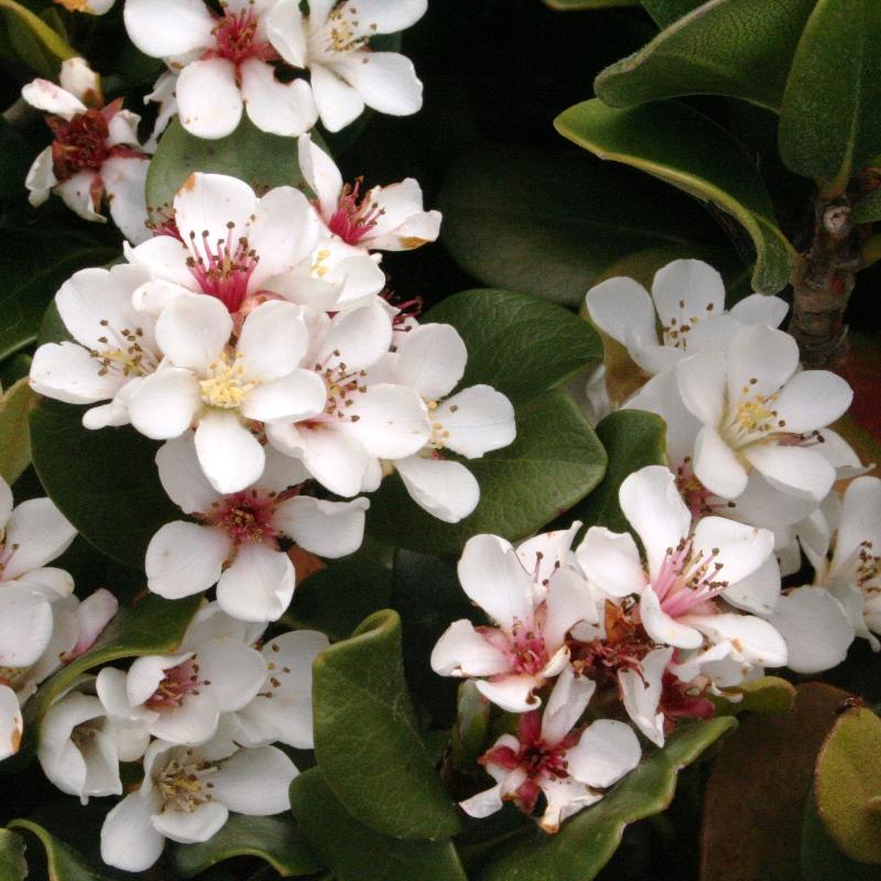 Rhaphiolepis umbellata | Yeddo Hawthorn