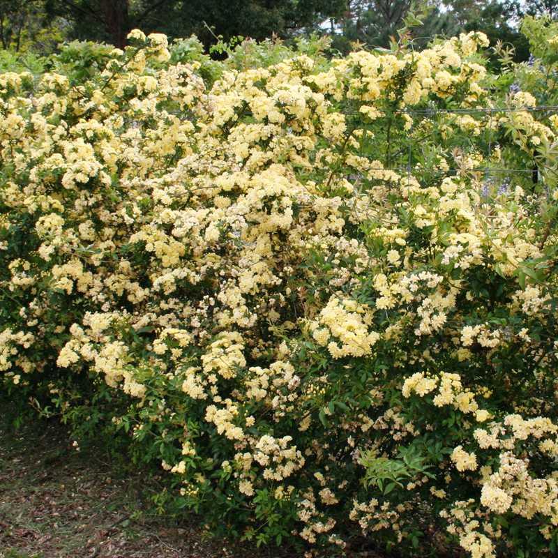Rosa Banksiae 'Lutea' | Rambling Rose