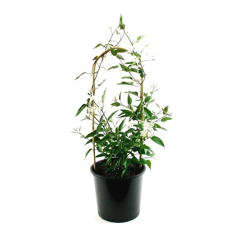 Solanum | jasminoides