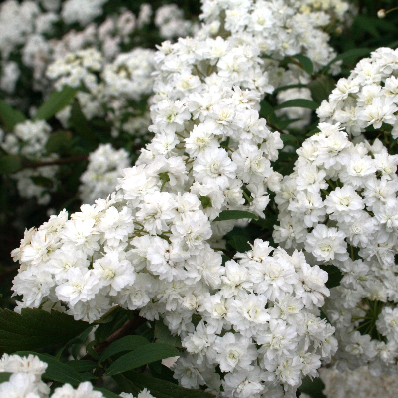 Spirea cantoniensis Double | Flowering May Bush