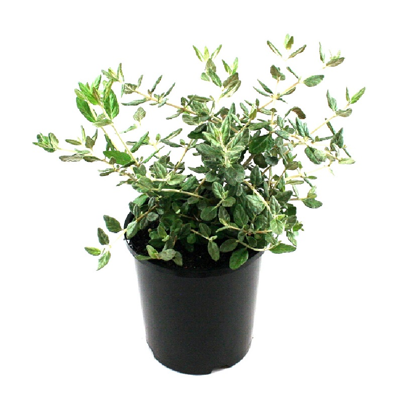 Teucrium fruticans | shrubby germander