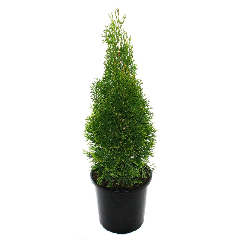 Thuja | occidentalis | Smaragd