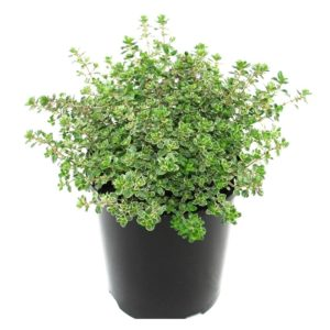 Thymus citriadora Variegated | lemon scented thyme perennial plant pot