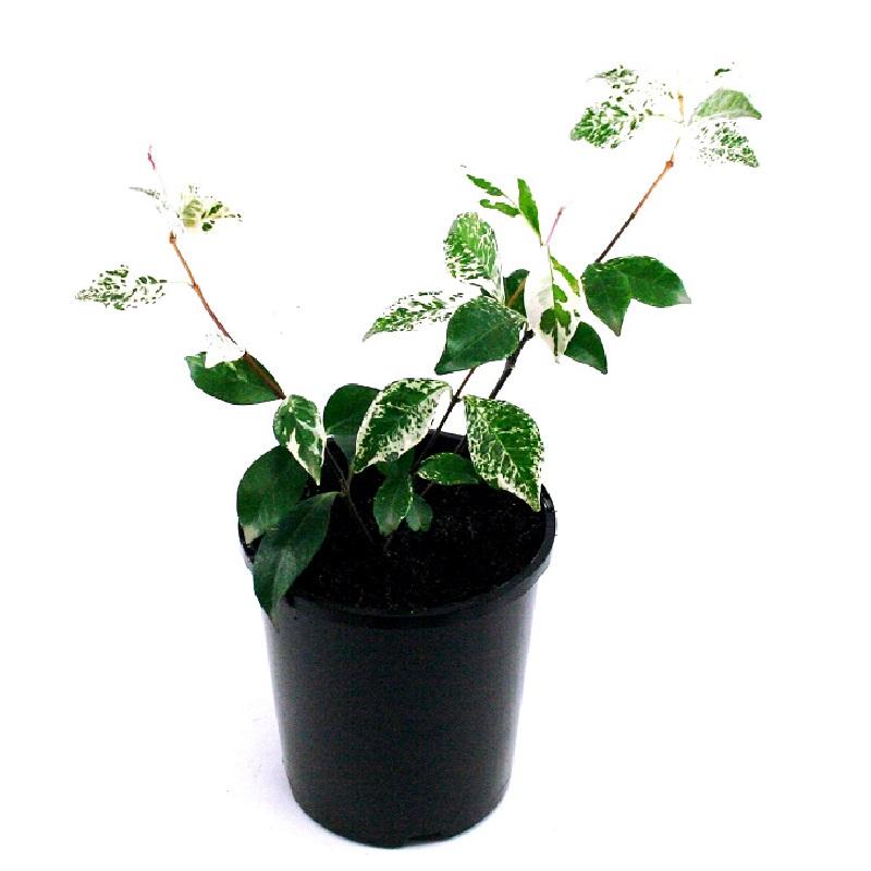 Trachelospermum | tricolour