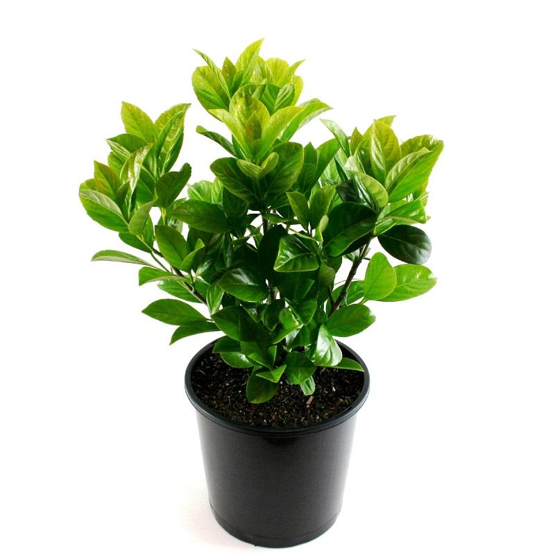 Viburnum | odoratissima