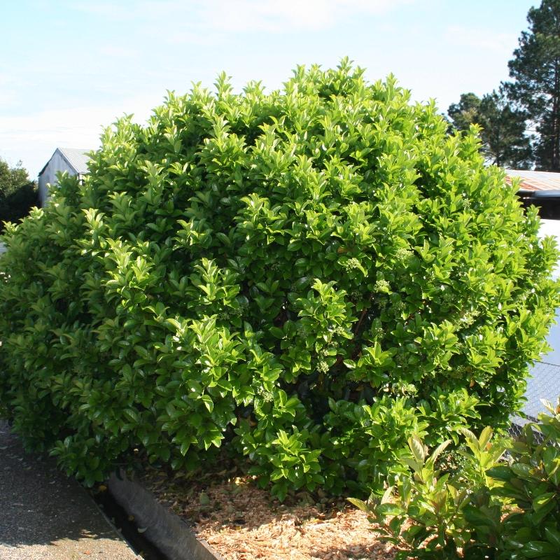 Viburnum odoratissima | Sweet Viburnum