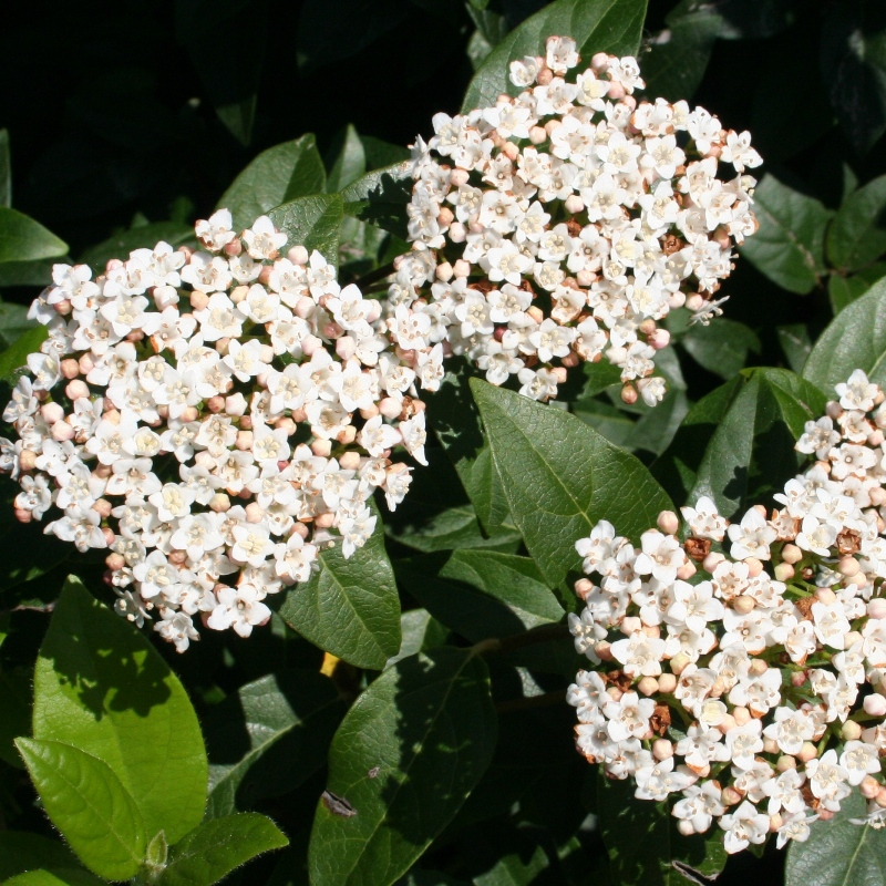 Viburnum tinus | Laurustinus