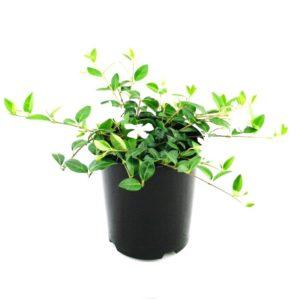 Vinca minor alba | dwarf periwinkle groundcover plant pot