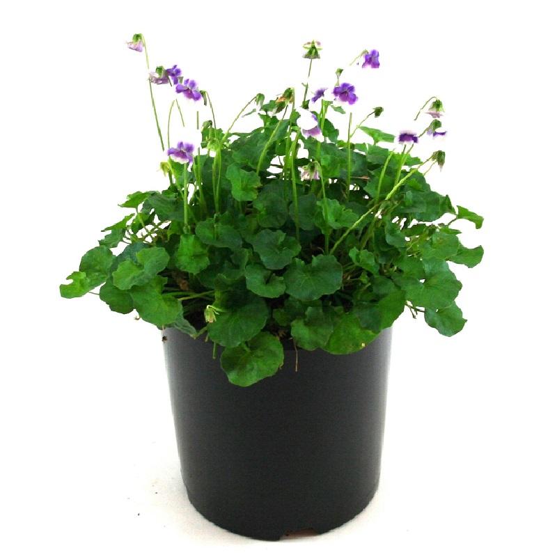 Viola | haderacea