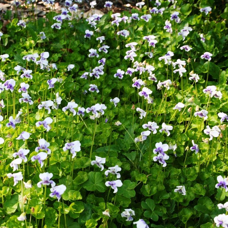 Viola haderacea | Native Violet
