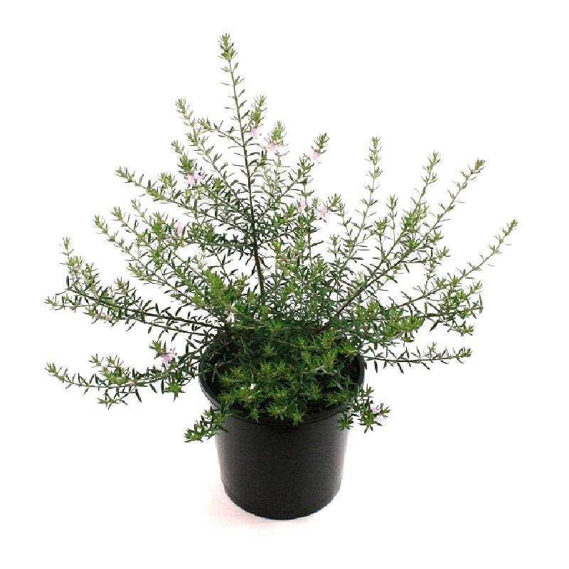 Westringia brevifolia | coastal rosemary