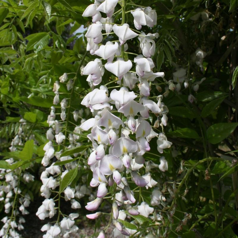 Wisteria floribunda Kuchibeni | Japanese Wisteria