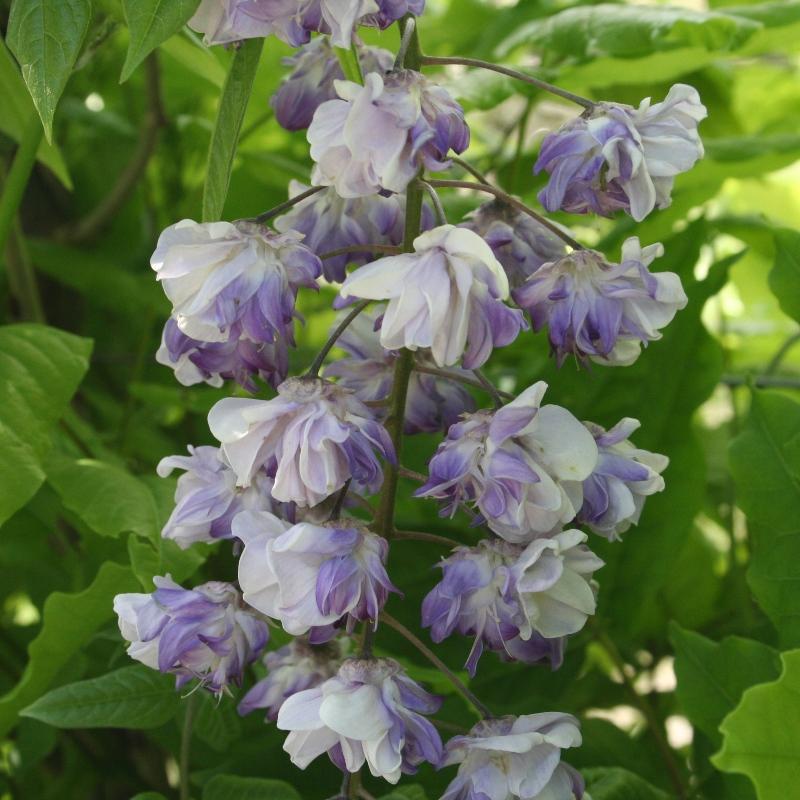 Wisteria floribunda Violacea Plena | Double Japanese wisteria