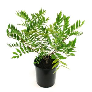 Wisteria macrostachya Pondside Blue | American Wisteria | climber plant pot