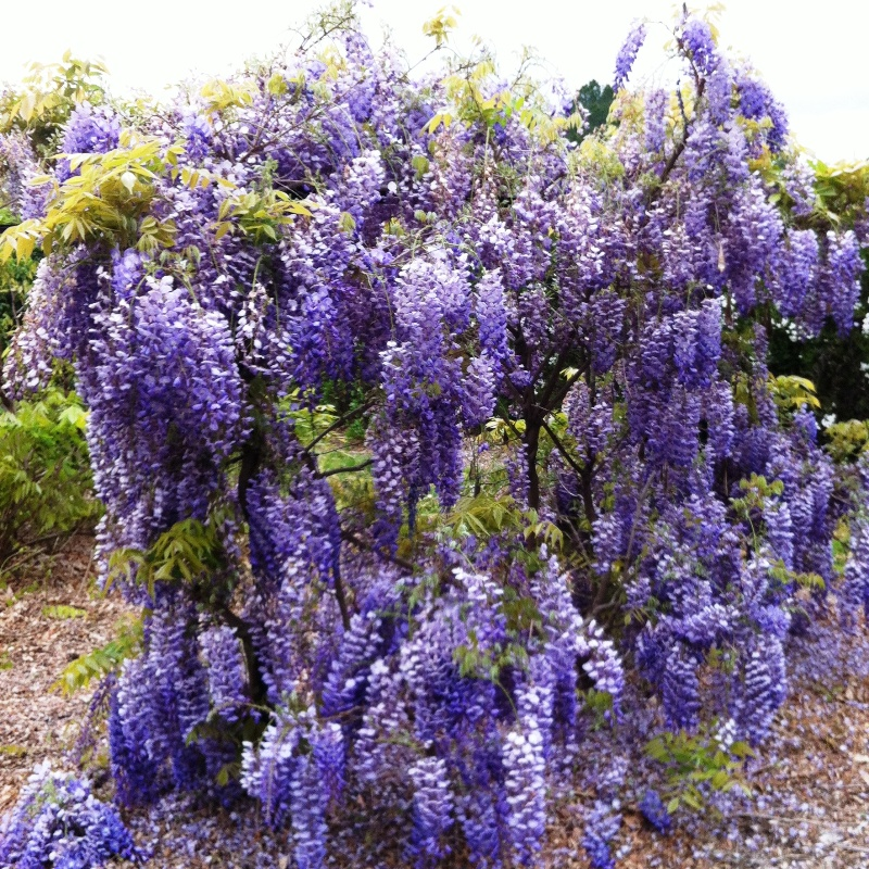 Picture of Live Chinese Wisteria aka Wisteria sinensis Plant Fit 5 Gallon Pot