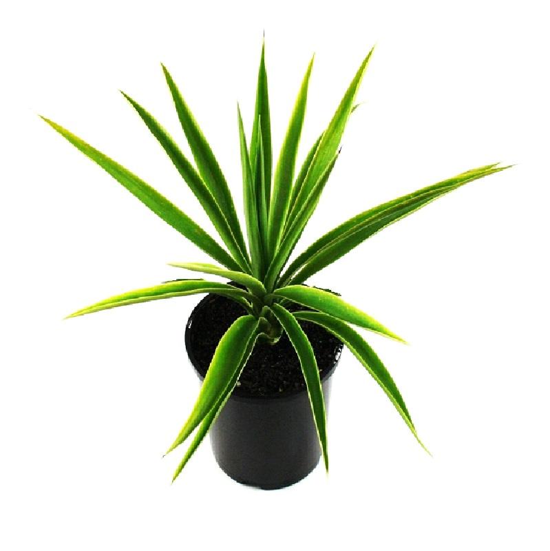 Yucca elephantipes | spineless yucca